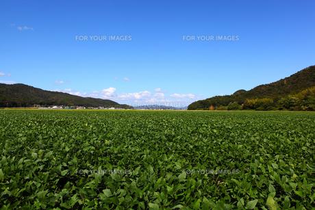 枝豆畑の写真素材 [FYI00367644]