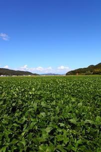 枝豆畑の写真素材 [FYI00367653]