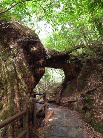 木のトンネルの写真素材 [FYI00367827]