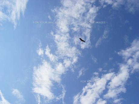 空を舞う鳥の写真素材 [FYI00367957]