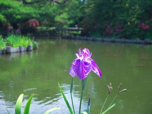 梅雨の晴れ間の花菖蒲の写真素材 [FYI00368022]