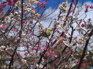 梅に鶯の写真素材 [FYI00368024]