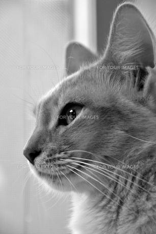 見つめる猫の素材 [FYI00368062]