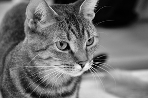 警戒する猫の写真素材 [FYI00368063]