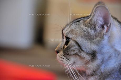 警戒する猫の素材 [FYI00368066]