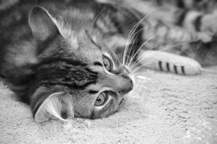 考える猫の素材 [FYI00368070]