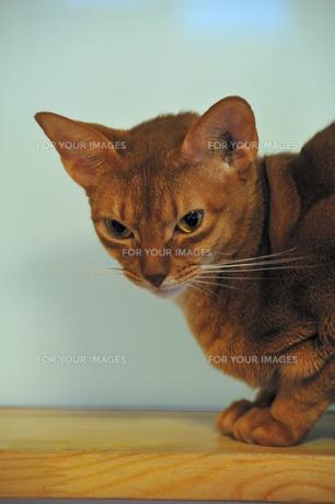 睨む猫の素材 [FYI00368071]