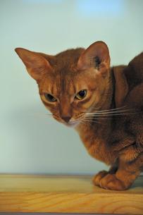 睨む猫の写真素材 [FYI00368071]
