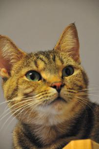 警戒する猫の素材 [FYI00368093]