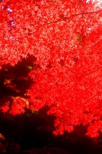 秋、燃ゆるの写真素材 [FYI00368111]