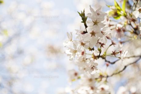 桜の写真素材 [FYI00368150]