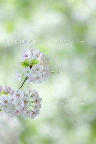 桜の花の素材 [FYI00368207]
