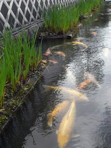 津和野の鯉の写真素材 [FYI00368314]