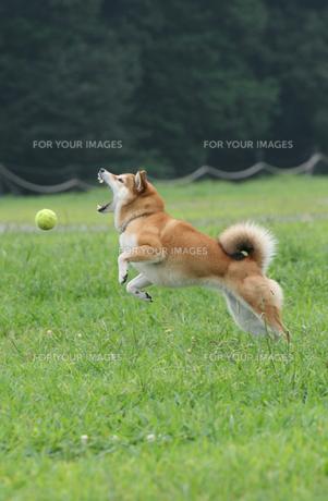 狙う犬の写真素材 [FYI00368342]