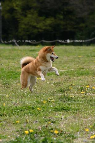はしゃぐ柴犬の写真素材 [FYI00368343]