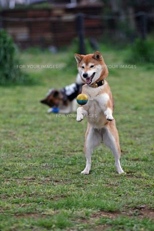 ボールを捉える柴犬!の写真素材 [FYI00368366]