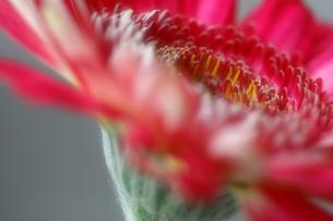 赤いガーベラの写真素材 [FYI00368525]
