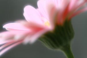 ピンクのガーベラの写真素材 [FYI00368532]