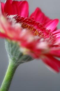 赤いガーベラの写真素材 [FYI00368534]