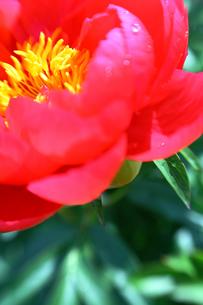 赤色のシャクナゲの写真素材 [FYI00368541]