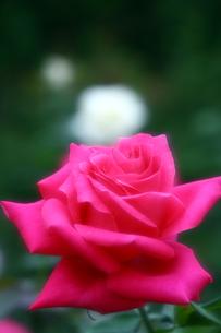 赤いバラの写真素材 [FYI00368550]