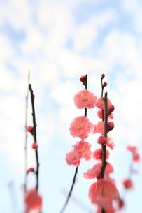 福岡城跡の紅梅の写真素材 [FYI00368635]
