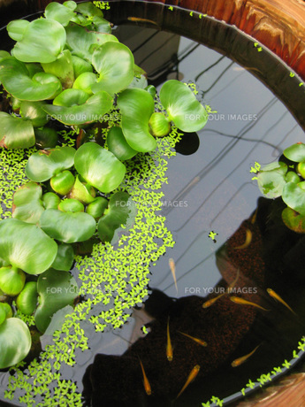水生植物と小魚の写真素材 [FYI00368641]