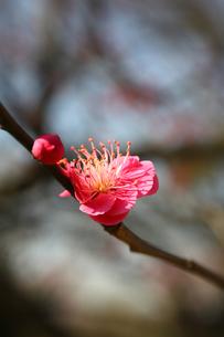 福岡城跡の紅梅の写真素材 [FYI00368652]