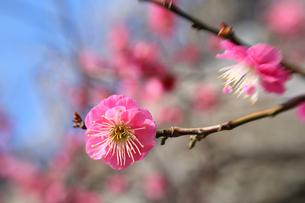 福岡城跡の紅梅の写真素材 [FYI00368653]