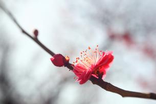 福岡城跡の紅梅の写真素材 [FYI00368654]