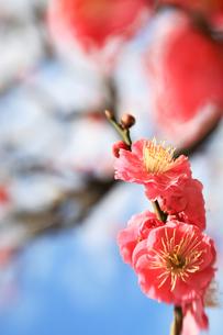 福岡城跡の紅梅の写真素材 [FYI00368664]