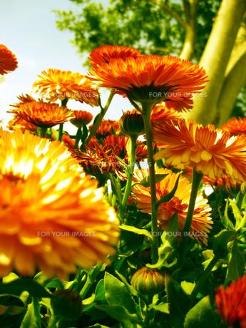 オレンジ色の花の素材 [FYI00368676]