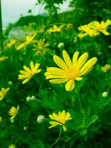 黄色い花畑の写真素材 [FYI00368680]