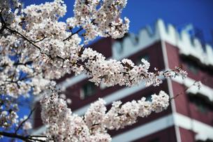 北九州市の桜の写真素材 [FYI00368744]