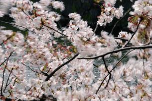風にそよぐ桜の写真素材 [FYI00368797]