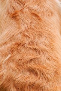 ゴールデンの毛並みの写真素材 [FYI00368938]