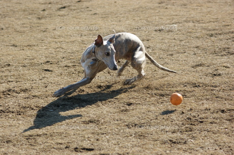 ボールを狙うウィペットの写真素材 [FYI00368965]