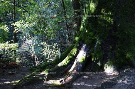 瀧原の古代杉の写真素材 [FYI00368998]