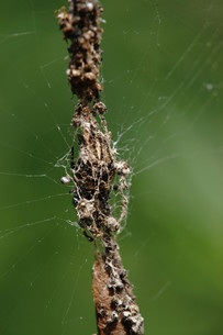 ゴミグモの巣の写真素材 [FYI00369129]