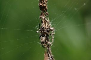 ゴミグモの巣の写真素材 [FYI00369145]