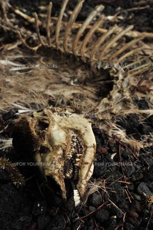 動物の骨の写真素材 [FYI00369324]