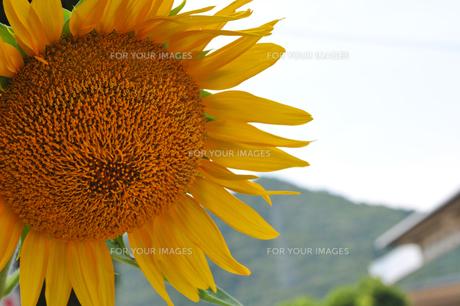 夏の終わりのヒマワリの写真素材 [FYI00369359]