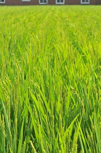 青き稲の写真素材 [FYI00369387]