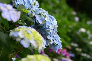 水色の紫陽花の写真素材 [FYI00369550]