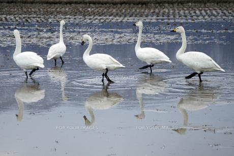 白鳥の写真素材 [FYI00369596]