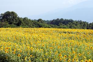 ひまわり畑の写真素材 [FYI00369617]