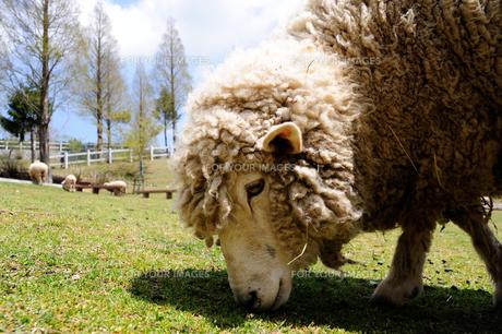 草を食べる羊の写真素材 [FYI00369706]