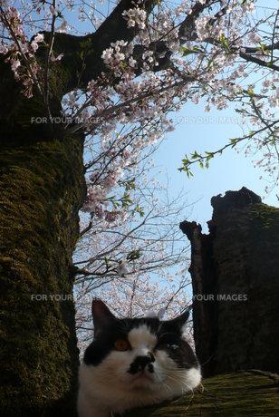 桜と猫の写真素材 [FYI00369774]