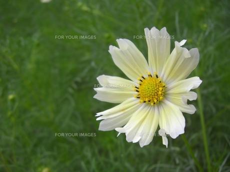 黄色い花の写真素材 [FYI00369835]