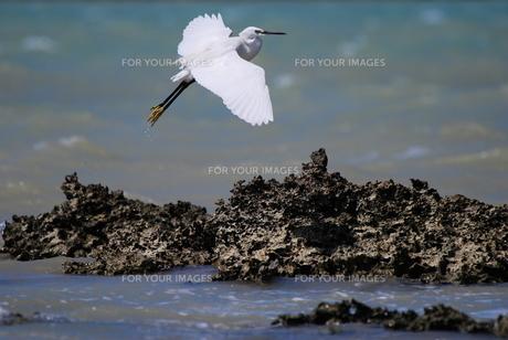 満潮時の白鷺の素材 [FYI00370332]